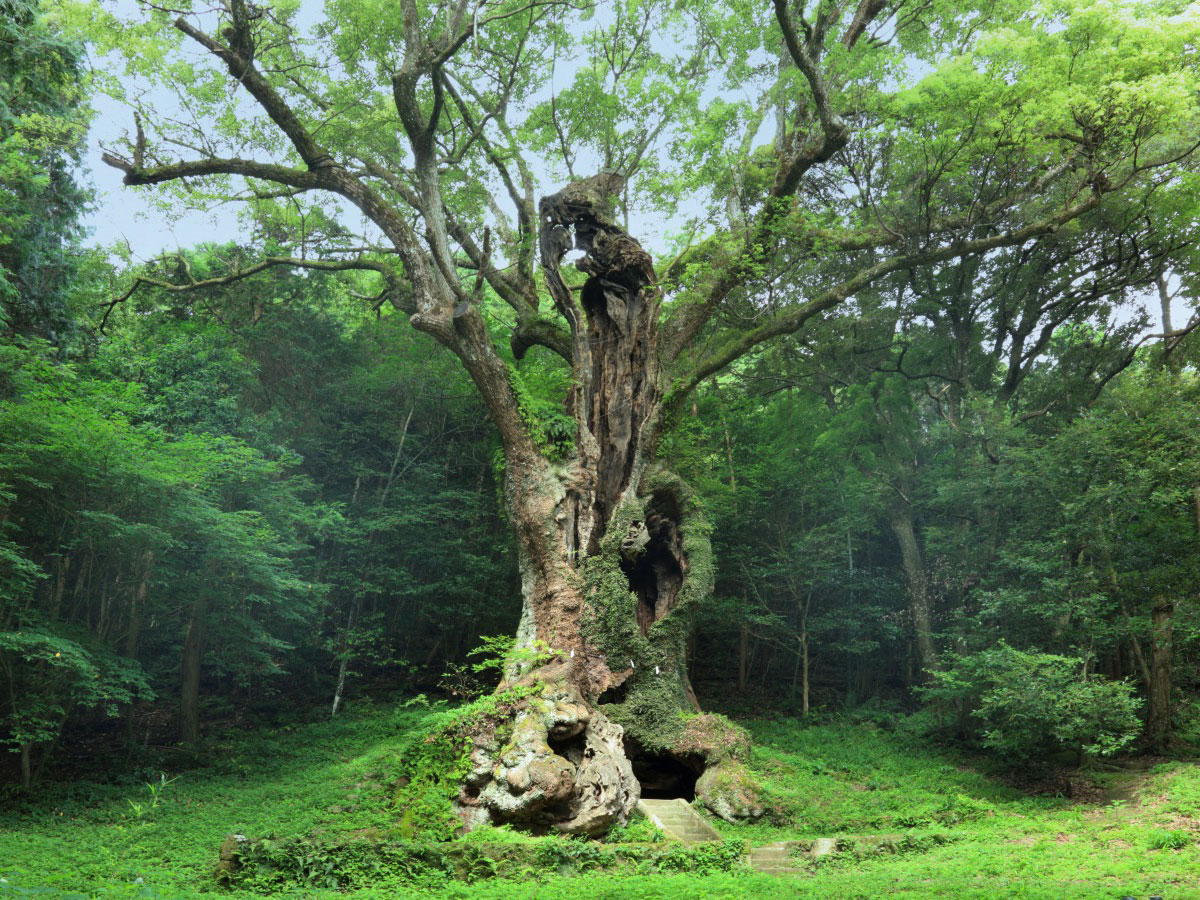 Giant camphor tree of Takeo (Takeo no Okutsu)_1
