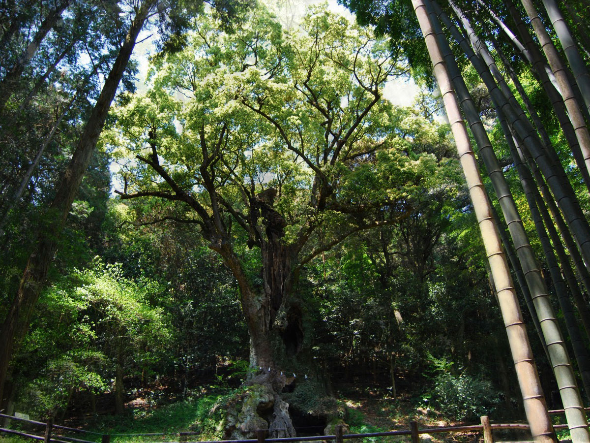 Giant camphor tree of Takeo (Takeo no Okutsu)_3