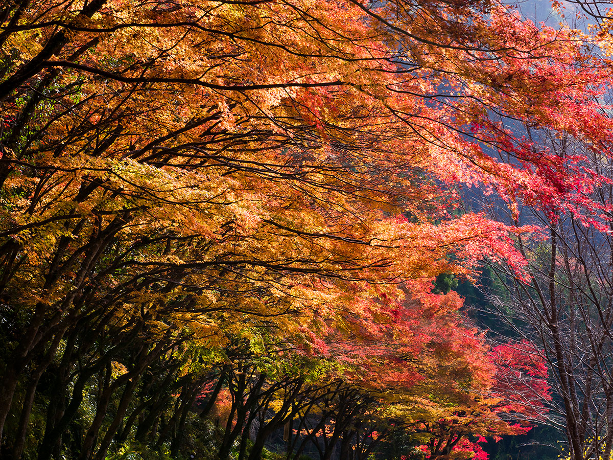 Yaba Gorge, Nakatsu (Red autumnal leaves)_2